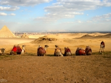 Resting Camels, Great Pyramids