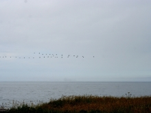 Geese and Ocean